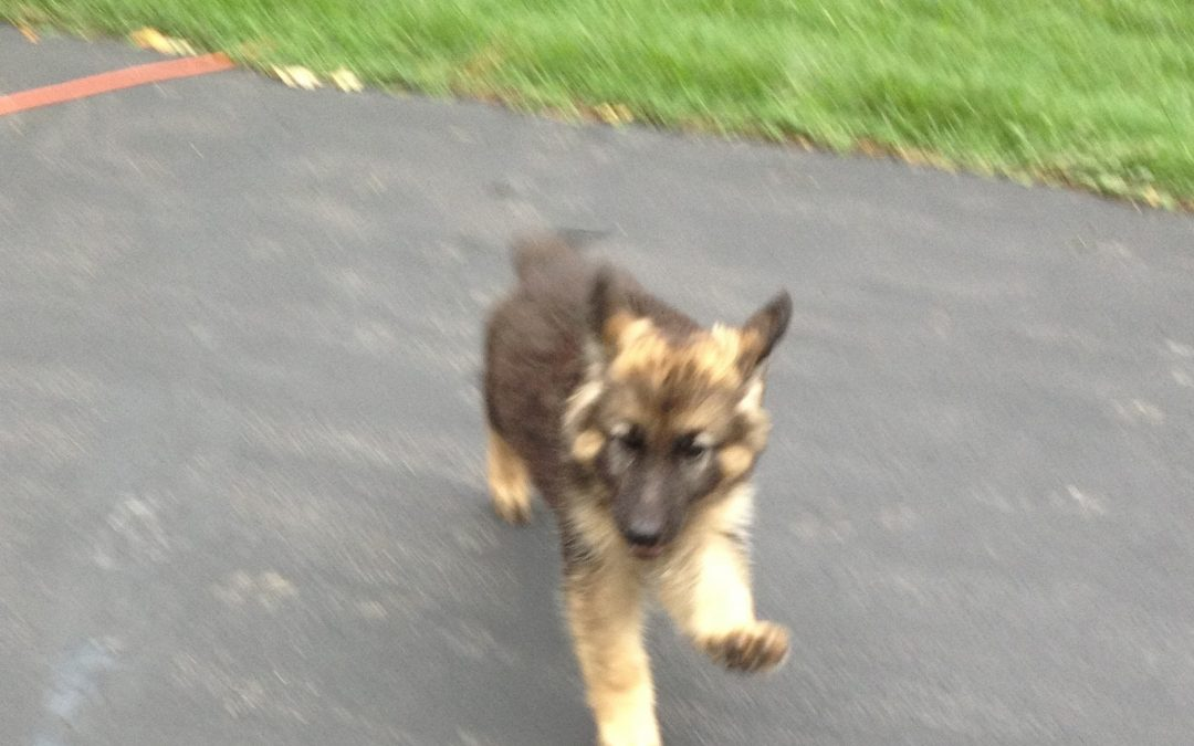 Keystone German Shepherds & Kennels Update